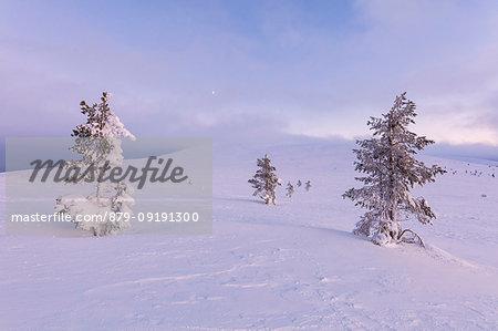 Lone trees in the snow, Pallas-Yllastunturi National Park, Muonio, Lapland, Finland