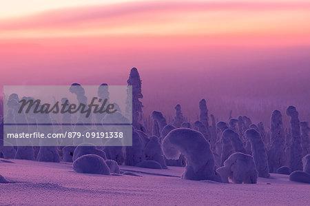 Pink sunrise on frozen trees, Riisitunturi National Park, Posio, Lapland, Finland