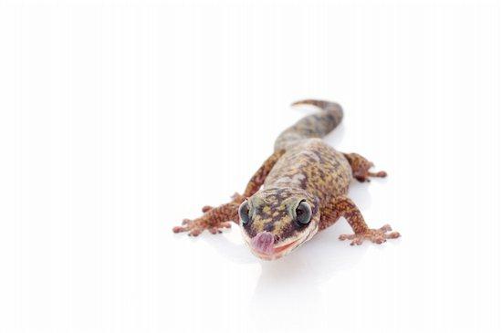 Oedura Monilis Gecko against white background Stock Photo - Royalty-Free, Artist: njean, Image code: 400-04092903