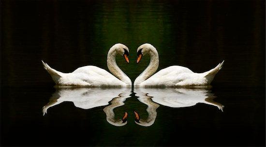 swan love reflection over a beautiful lake Stock Photo - Royalty-Free, Artist: yuliang11, Image code: 400-04281088