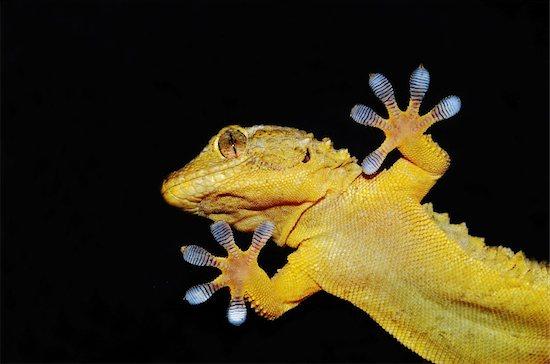 gecko lizard showing its ten adhesive fingers Stock Photo - Royalty-Free, Artist: nico99, Image code: 400-06095498