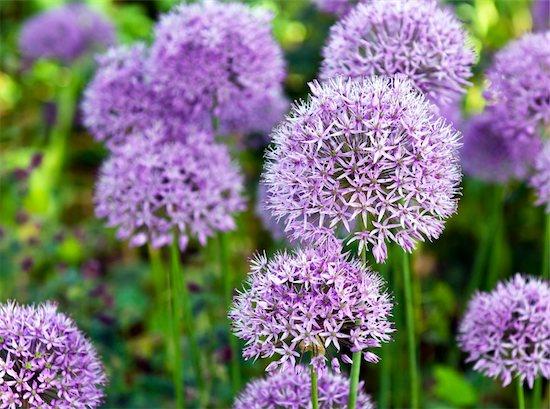 The large purple flowers of ornamental garlic Stock Photo - Royalty-Free, Artist: nazzu, Image code: 400-06177388