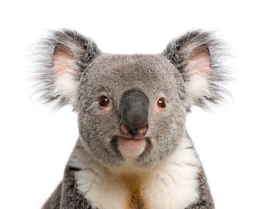 Male Koala 3 years old - Phascolarctos cinereus Stock Photo - Royalty-Free, Artist: isselee, Image code: 400-07547523
