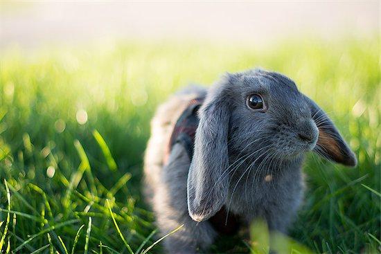 Gray rabbit in short green grass Stock Photo - Royalty-Free, Artist: shmelevevgeniy, Image code: 400-08771481