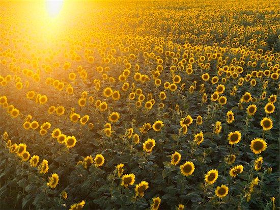 Field of sunflowers with sunshine. Stock Photo - Royalty-Free, Artist: iofoto, Image code: 400-03999250