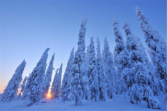 Snow Covered Spruce Trees at Sunrise, Kuusamo, Northern Ostrobothnia, Finland Stock Photo - Premium Royalty-Free, Artist: Raimund Linke, Image code: 600-05610022