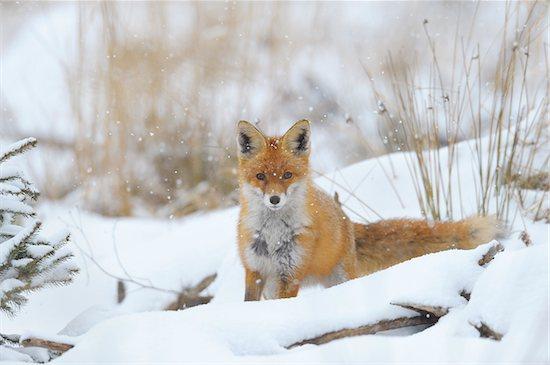 Red Fox (Vulpes vulpes) in Snowfall, Bavaria, Germany Stock Photo - Premium Royalty-Free, Artist: Michael Breuer, Image code: 600-06782059