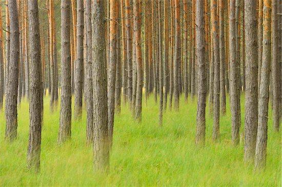 Pine Forest, Biosphere Reserve, Lusatia, Saxony, Germany Stock Photo - Premium Royalty-Free, Artist: Michael Breuer, Image code: 600-07117105