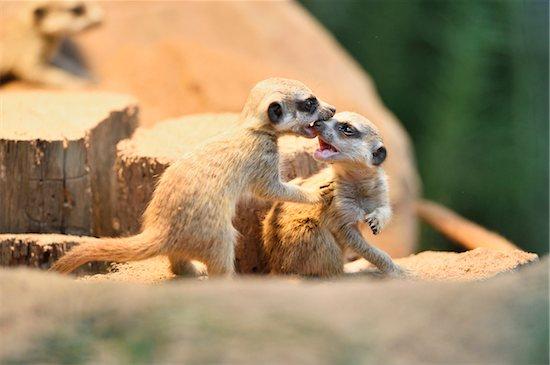 Close-up of meerkat or suricate (Suricata suricatta) youngsters in summer, Bavaria, Germany Stock Photo - Premium Royalty-Free, Artist: David & Micha Sheldon, Image code: 600-07734325