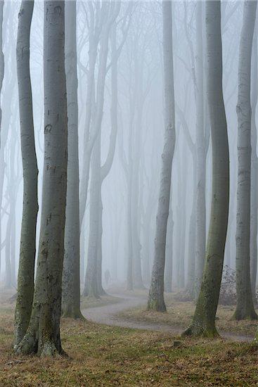 Trees in forest with fog, Ghost Forest (Gespensterwald), Nienhagen, Westren Pomerania, Mecklenburg-Vorpommern, Germany Stock Photo - Premium Royalty-Free, Artist: Raimund Linke, Image code: 600-07784599