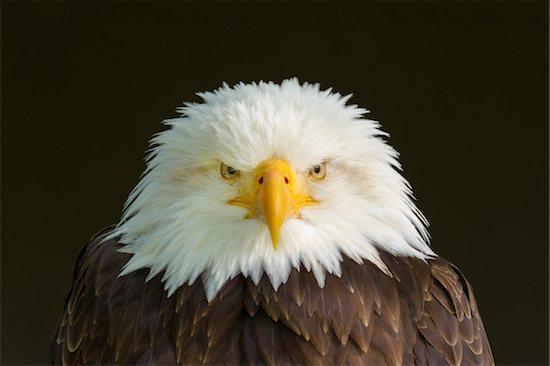 Portrait of Bald Eagle (Haliaeetus Leucocephalus), Bavaria, Germany Stock Photo - Premium Royalty-Free, Artist: Michael Breuer, Image code: 600-08082818