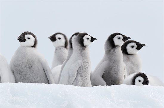 Emperor Penguin Chicks, Snow Hill Island, Weddell Sea, Antarctica Stock Photo - Premium Royalty-Free, Artist: Martin Ruegner, Image code: 600-02957778