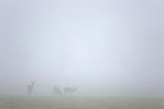 Deer in Field, Jamestown, Rhode Island, USA Stock Photo - Premium Royalty-Free, Artist: Michael Eudenbach, Image code: 600-03392446