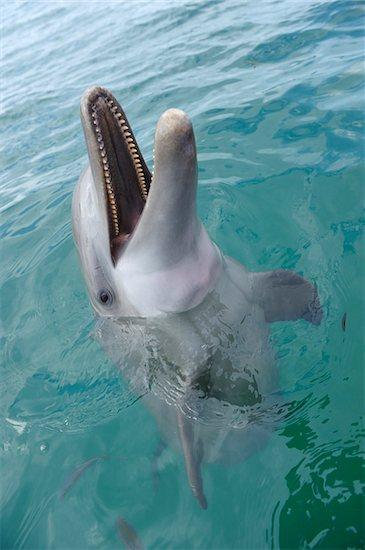 Portrait of Common Bottlenose Dolphin, Caribbean Sea, Roatan, Bay Islands, Honduras Stock Photo - Premium Royalty-Free, Artist: Martin Ruegner, Image code: 600-03787218