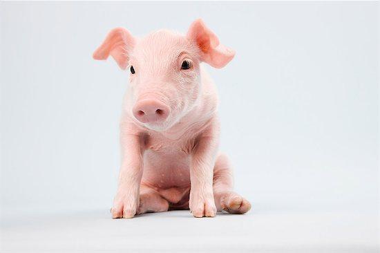 Cute piglet, studio shot Stock Photo - Premium Royalty-Free, Image code: 614-06043397