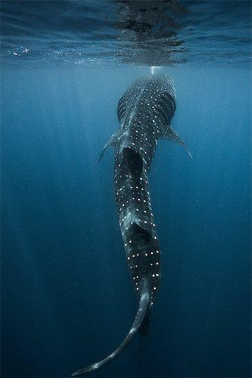 Large whale shark (Rhincodon typus) feeding on fish eggs at sea surface, Isla Mujeres, Mexico Stock Photo - Premium Royalty-Free, Image code: 614-08720845