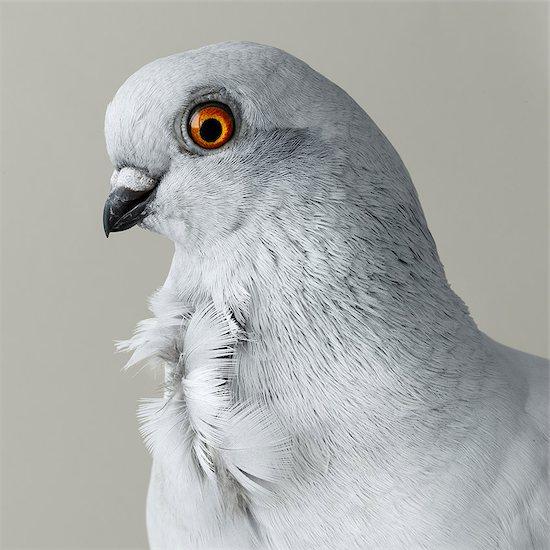 Grey pigeon Stock Photo - Premium Royalty-Free, Image code: 614-08872682