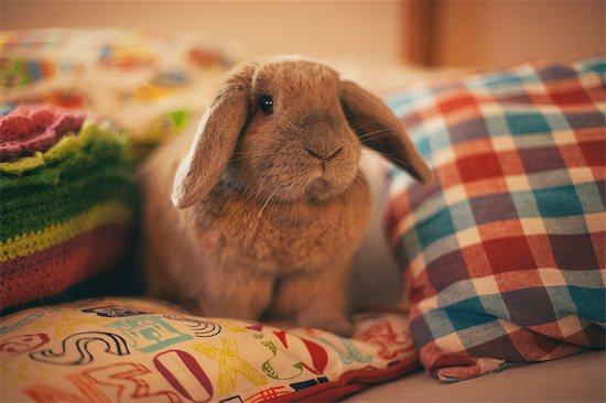Portrait of pet rabbit sitting on cushion Stock Photo - Premium Royalty-Free, Image code: 614-08946425