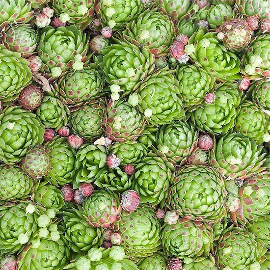 Succulents Stock Photo - Premium Royalty-Free, Image code: 6102-08184232