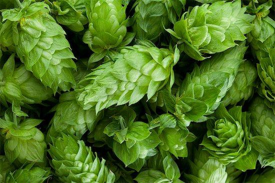 Fresh Hops Stock Photo - Premium Royalty-Free, Image code: 6106-06402176