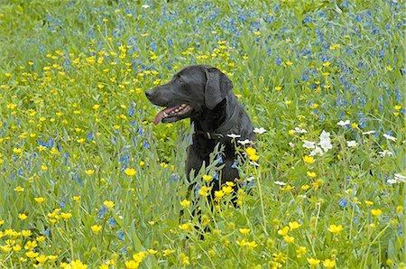 Labrador Retriever Anatomy Stock Photos Page 1 Masterfile