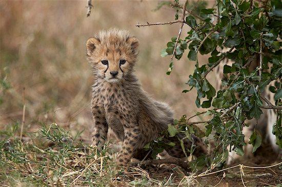 Cheetah (Acinonyx jubatus) cub about a month old, Serengeti National Park, Tanzania, East Africa, Africa Stock Photo - Premium Royalty-Free, Image code: 6119-08211400
