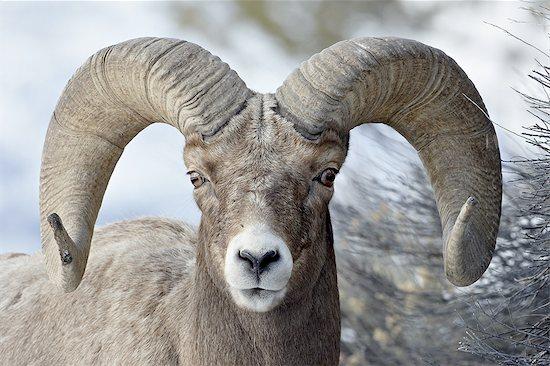Bighorn Sheep (Ovis canadensis) ram, Yellowstone National Park, Wyoming, United States of America, North America Stock Photo - Premium Royalty-Free, Image code: 6119-08741255