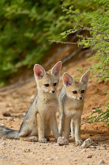 Two Cape fox (Vulpes chama) kits, Kgalagadi Transfrontier Park, encompassing the former Kalahari Gemsbok National Park, South Africa, Africa Stock Photo - Premium Royalty-Free, Image code: 6119-08741486
