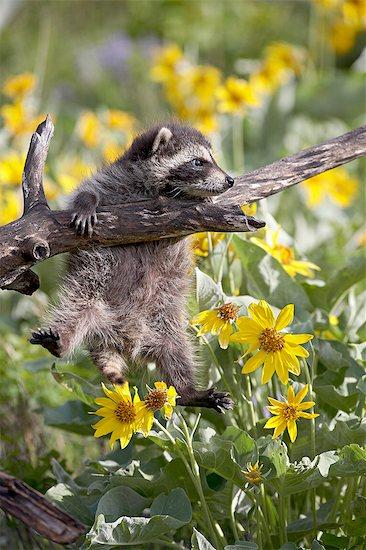 Baby raccoon (Procyon lotor) in captivity, Animals of Montana, Bozeman Montana, United States of America, North America Stock Photo - Premium Royalty-Free, Image code: 6119-08741419