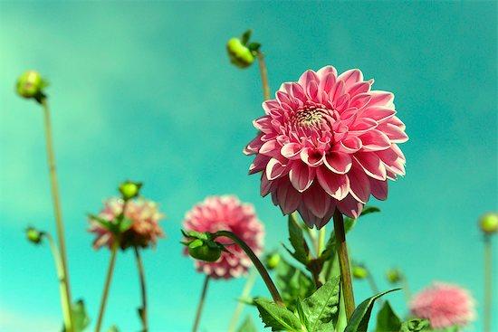 Close-up several flowering dahlia flowers Stock Photo - Premium Royalty-Free, Image code: 6121-07914039