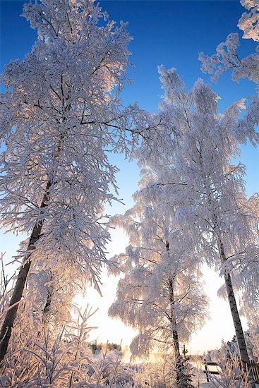 Finland, Haukipudas, Winter trees Stock Photo - Premium Royalty-Free, Image code: 6126-08580833