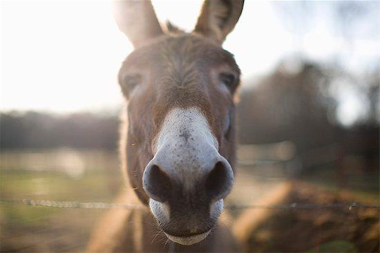 Close-up of donkey Stock Photo - Premium Royalty-Free, Image code: 6128-08747890