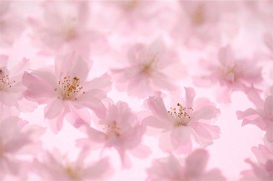 Cherry blossoms Stock Photo - Premium Royalty-Free, Image code: 622-06370367