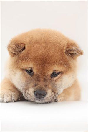 Sad Puppy Dog Eyes Stock Photos Page 1 Masterfile