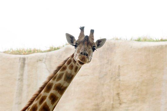 Giraffe (Giraffa camelopardalis) Stock Photo - Premium Royalty-Free, Image code: 632-02744910