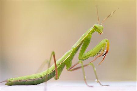 Praying Mantis Close Up Stock Photo Premium Royalty Free Code