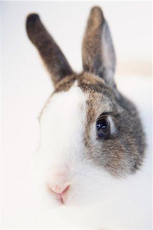Sex purpose of rabbits facial cheek glands procter porn