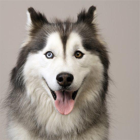 Close up of Husky Stock Photo - Premium Royalty-Free, Image code: 649-07065194