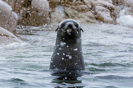 Portrait of Antarctic fur seal (arctocephalus gazella), Portal Point, Antarctica Stock Photo - Premium Royalty-Free, Image code: 649-08895052