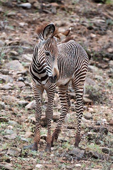 Grevy's Zebra (Equus grevyi), Samburu National Park, Kenya Stock Photo - Premium Royalty-Free, Image code: 649-09016820
