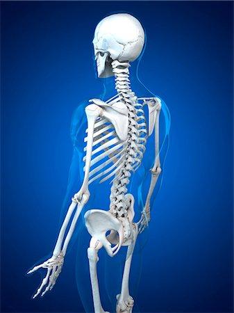Backside human body skeleton Stock Photos - Page 1 : Masterfile