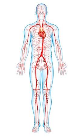 Femoral Artery Stock Photos Page 1 Masterfile