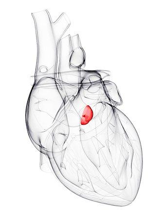 Heart Valve Stock Photos