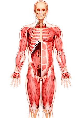Rectus abdominis external oblique muscle Stock Photos - Page 1 ...