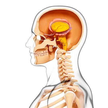 Brain Cross Section Hypothalamus Stock Photos Page 1 Masterfile