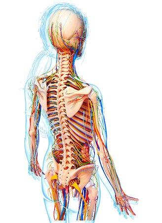 Female Human Skeleton Backside Stock Photos Page 1 Masterfile