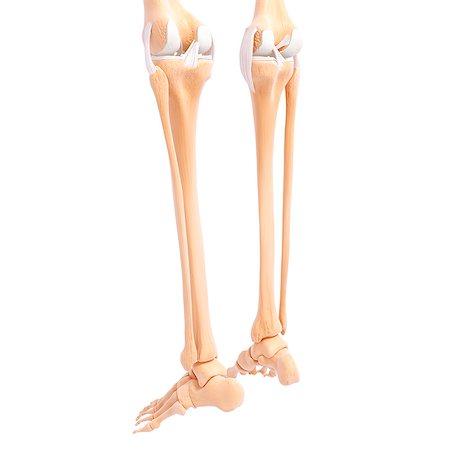 Rear View Human Leg Bone Stock Photos Page 1 Masterfile