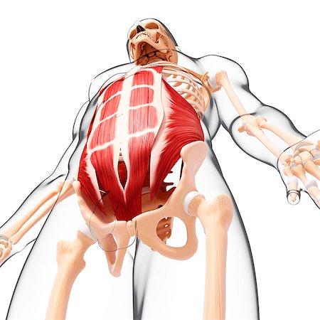 Rib cage rectus abdominis Stock Photos - Page 1 : Masterfile