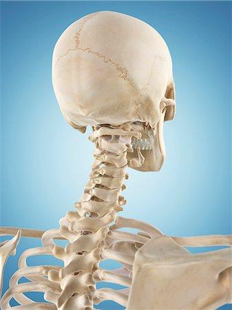 3d human anatomy neck bones Stock Photos - Page 1 : Masterfile