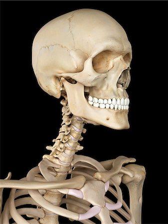 3d human anatomy neck bones stock photos page 1 masterfile human skull computer artwork stock photo premium royalty free code ccuart Gallery